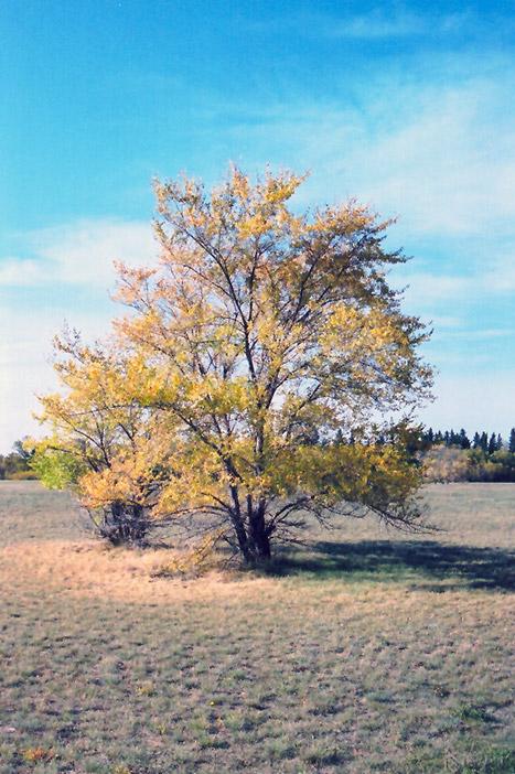 Siberian Elm Ulmus Pumila In Bozeman Helena Butte