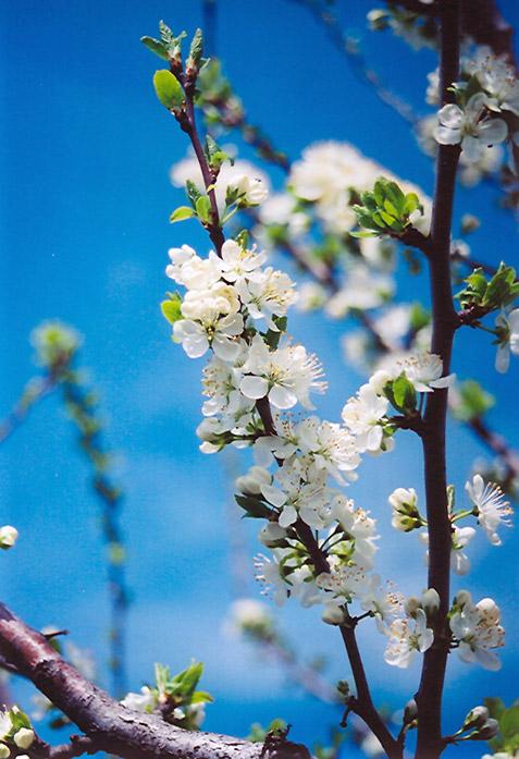 Mount Royal Plum Prunus Mount Royal In Bozeman Helena