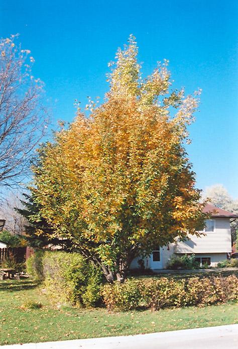 Oakleaf Mountain Ash Sorbus X Hybrida In Bozeman Helena