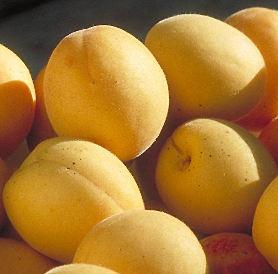 Sungold Apricot Prunus Sungold In Bozeman Helena Butte
