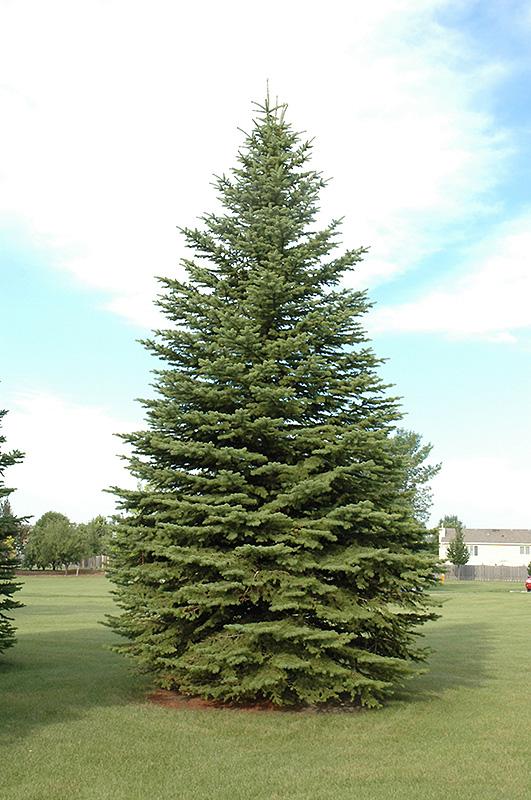 Colorado Spruce Picea Pungens In Bozeman Helena Butte
