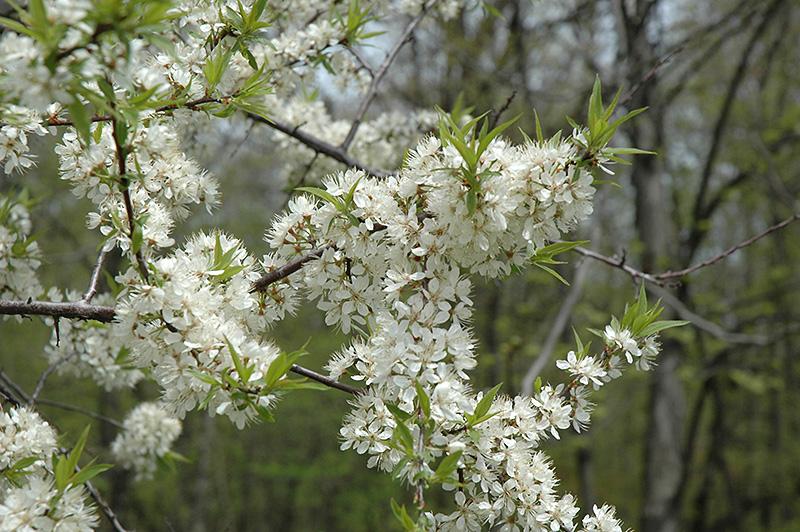 American Plum Prunus Americana In Bozeman Helena Butte