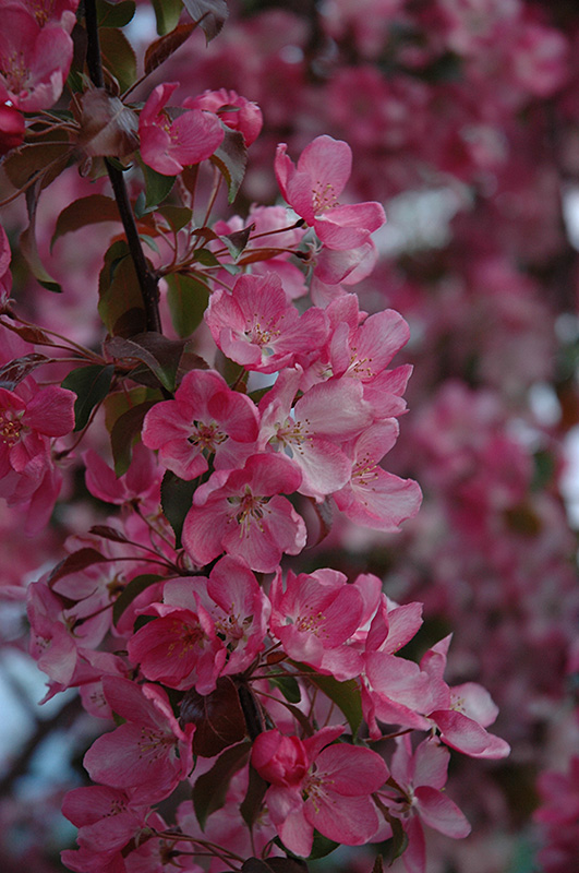 Rudolph Flowering Crab Malus Rudolph In Bozeman Helena