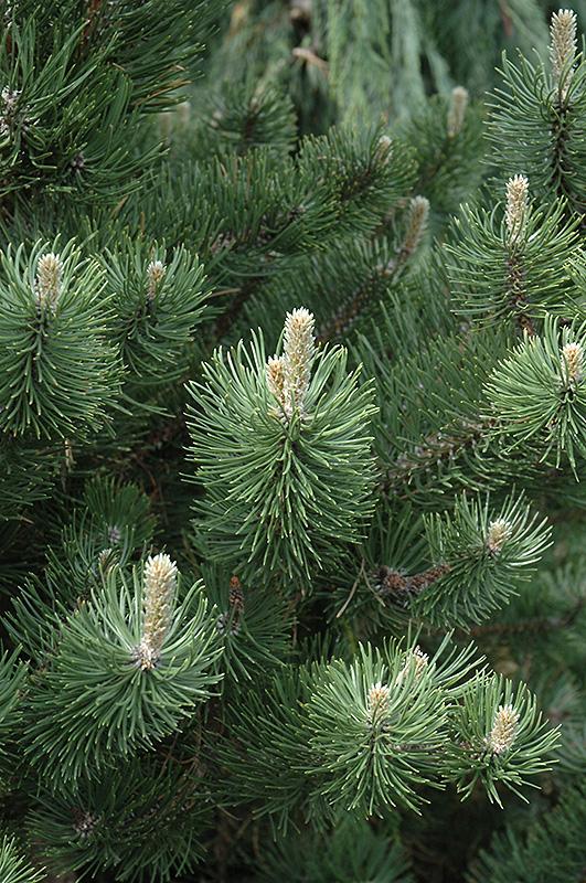 Oregon Green Austrian Pine Pinus Nigra Oregon Green In Bozeman