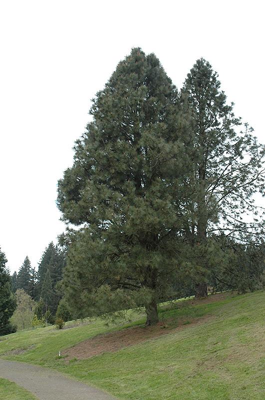 Yellow Pine Pinus Ponderosa In Bozeman Helena Butte