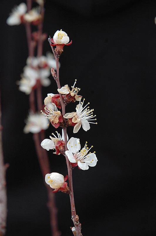 Chinese Apricot Prunus Armeniaca Chinese In Bozeman