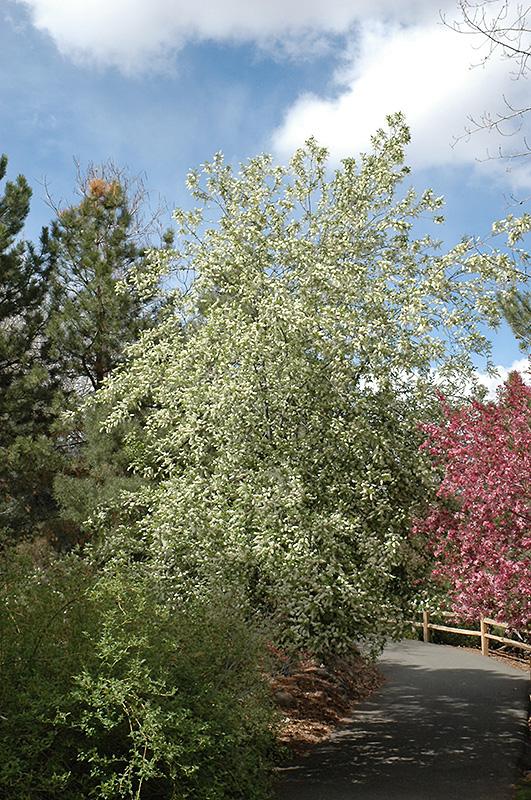 Mayday Prunus Padus In Bozeman Helena Butte Billings