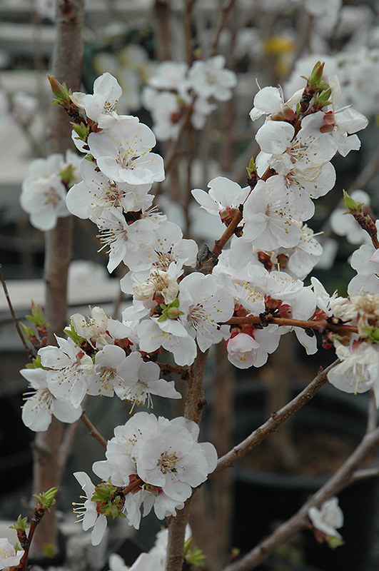 Moongold Apricot Prunus Moongold In Bozeman Helena