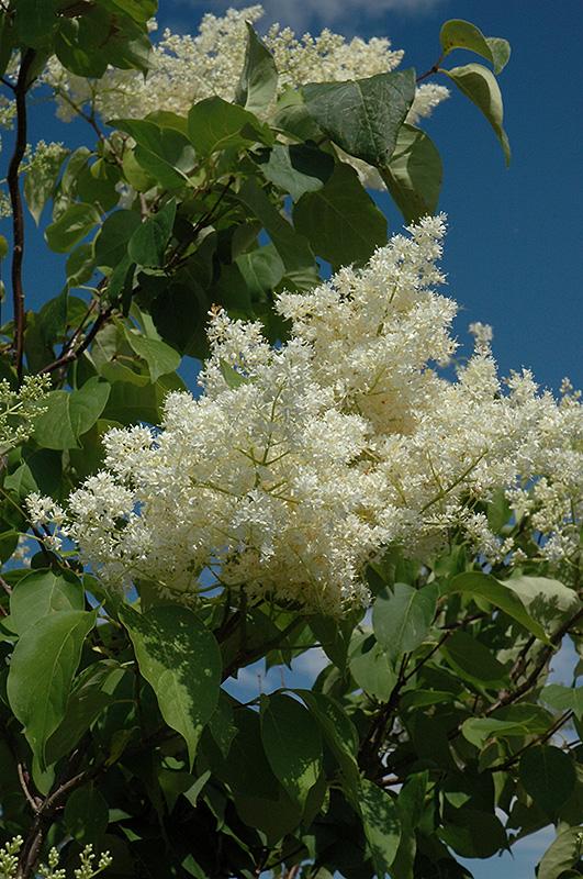 Ivory Silk Tree Lilac (tree form) (Syringa reticulata \'Ivory Silk ...