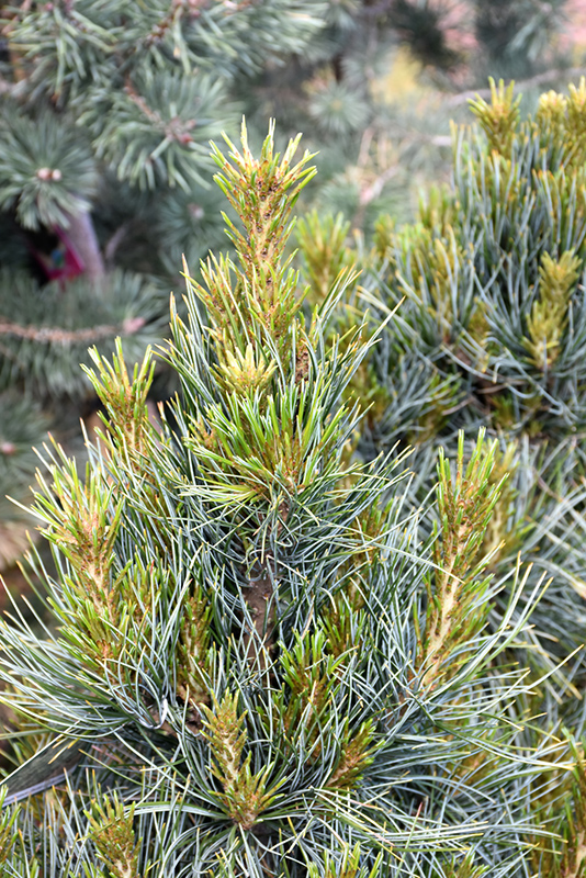 Westerstede Swiss Stone Pine Pinus Cembra Westerstede