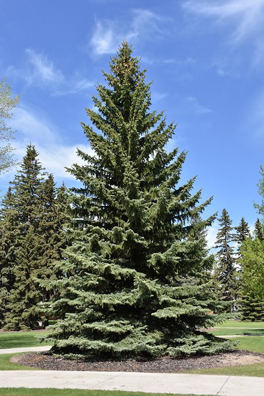Blue Colorado Spruce Picea Pungens Var Glauca In