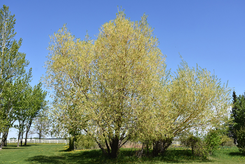 Golden Willow Salix Alba Vitellina In Bozeman Helena