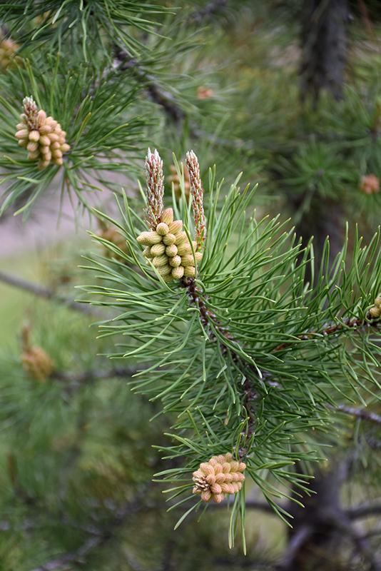 Lodgepole Pine Pinus Contorta Var Latifolia In