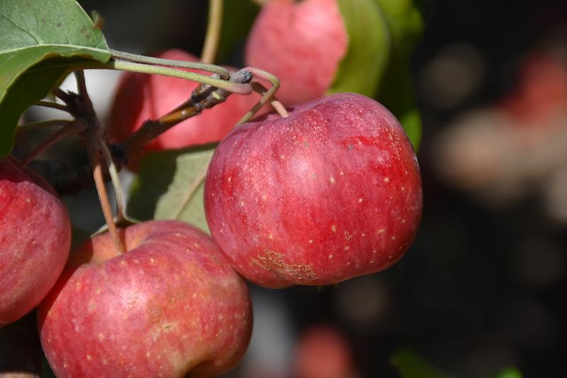 Chestnut Crab Apple Malus Chestnut In Bozeman Helena