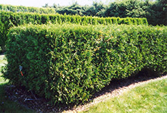 Techny Arborvitae (Thuja occidentalis 'Techny') at Cashman Nursery