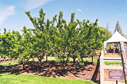 Mount Royal Plum (Prunus 'Mount Royal') at Cashman Nursery
