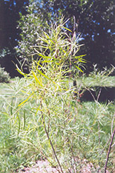 Coyote Willow (Salix exigua) at Cashman Nursery