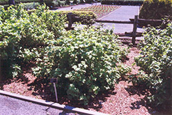Red Lake Red Currant (Ribes sativum 'Red Lake') at Cashman Nursery