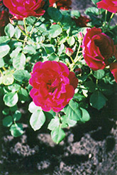 Cuthbert Grant Rose (Rosa 'Cuthbert Grant') at Cashman Nursery