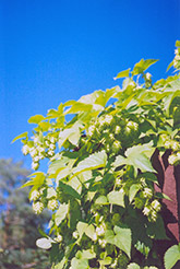 Hops (Humulus lupulus) at Cashman Nursery