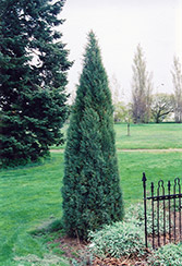 Medora Juniper (Juniperus scopulorum 'Medora') at Cashman Nursery