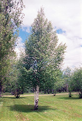 European Birch (Betula pendula) at Cashman Nursery