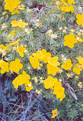 Goldfinger Potentilla (Potentilla fruticosa 'Goldfinger') at Cashman Nursery