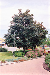 Deborah Norway Maple (Acer platanoides 'Deborah') at Cashman Nursery