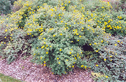 Yellow Gem Potentilla (Potentilla fruticosa 'Yellow Gem') at Cashman Nursery