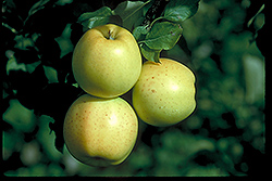 Honeygold Apple (Malus 'Honeygold') at Cashman Nursery