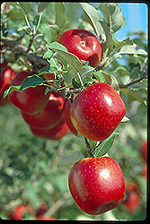 Prairie Spy Apple (Malus 'Prairie Spy') at Cashman Nursery
