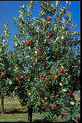 Zestar Apple (Malus 'Zestar') at Cashman Nursery