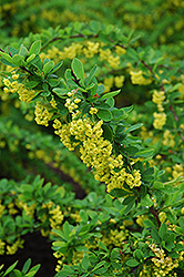 Emerald Carousel Barberry (Berberis 'Tara') at Cashman Nursery