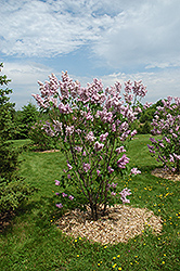 Montaigne Lilac (Syringa vulgaris 'Montaigne') at Cashman Nursery