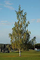 Cutleaf Weeping Birch (Betula pendula 'Dalecarlica') at Cashman Nursery