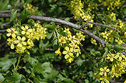 Golden Flowering Currant (Ribes aureum) at Cashman Nursery