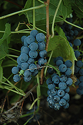 Valiant Grape (Vitis 'Valiant') at Cashman Nursery