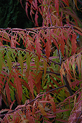 Tiger Eyes® Sumac (Rhus typhina 'Bailtiger') at Cashman Nursery