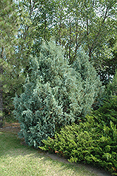 Wichita Blue Juniper (Juniperus scopulorum 'Wichita Blue') at Cashman Nursery