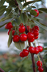 Evans Cherry (Prunus 'Evans') at Cashman Nursery