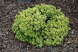 Golden Nugget Japanese Barberry (Berberis thunbergii 'Golden Nugget') at Cashman Nursery