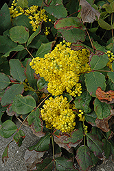 Creeping Mahonia (Mahonia repens) at Cashman Nursery