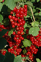 Red Lake Red Currant (Ribes rubrum 'Red Lake') at Cashman Nursery