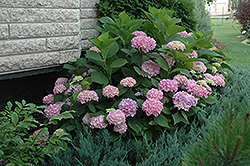 Endless Summer® Hydrangea (Hydrangea macrophylla 'Endless Summer') at Cashman Nursery