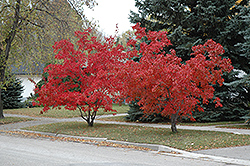 Flame Amur Maple Acer Ginnala Flame In Bozeman Helena