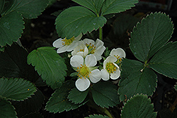 Honeoye Strawberry (Fragaria 'Honeoye') at Cashman Nursery