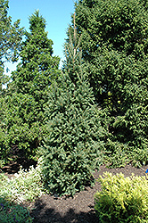 Columnar Norway Spruce (Picea abies 'Cupressina') at Cashman Nursery