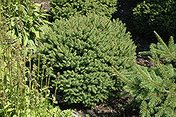 Hildburghausen Norway Spruce (Picea abies 'Hildburghausen') at Cashman Nursery