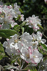 Wealthy Apple (Malus 'Wealthy') at Cashman Nursery