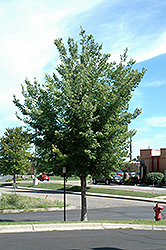 Common Hackberry (Celtis occidentalis) at Cashman Nursery